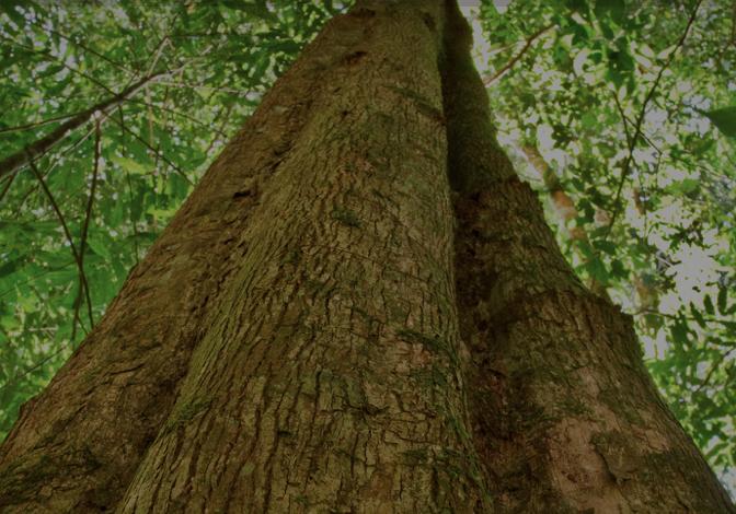 brnut-tree